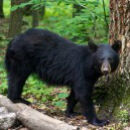New Jersey Black Bear Hunt Is On, Court Rules