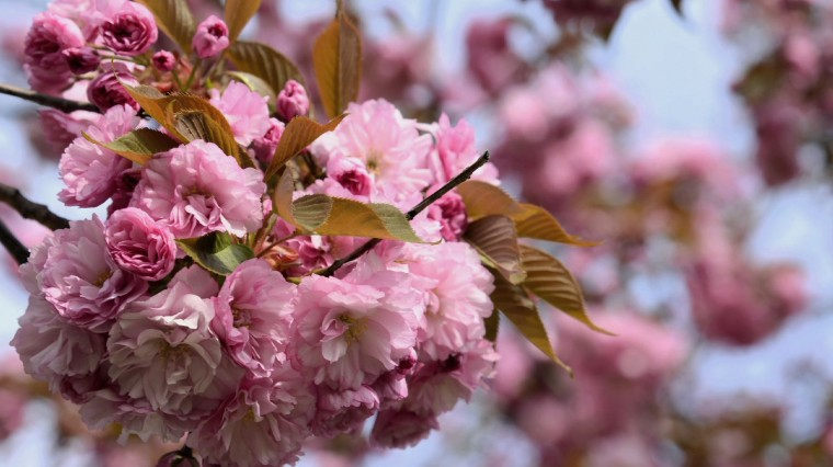 Celebrating Spring with Japanese Cherry Blossoms: A Brooklyn Tradition