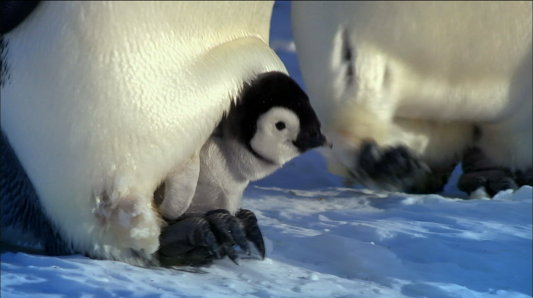 Growing Up As A Penguin In 'Nature'