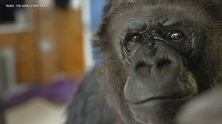 REMEMBERING KOKO