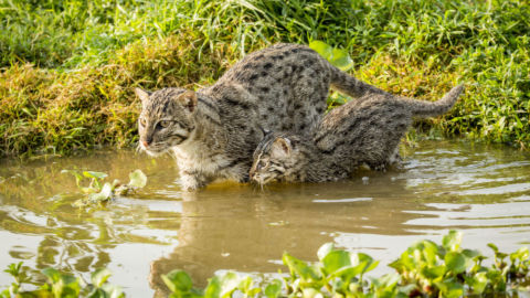 Cats in the Wild. See 31 Species in NATURE Miniseries