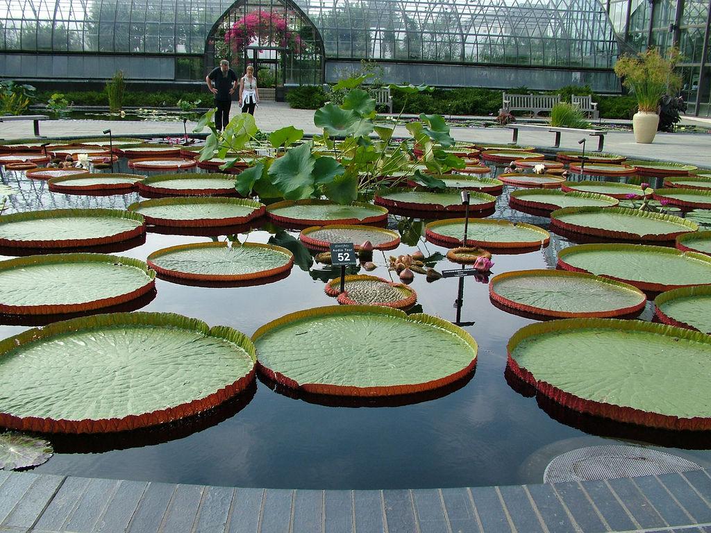 Queen Victoria Lilies
