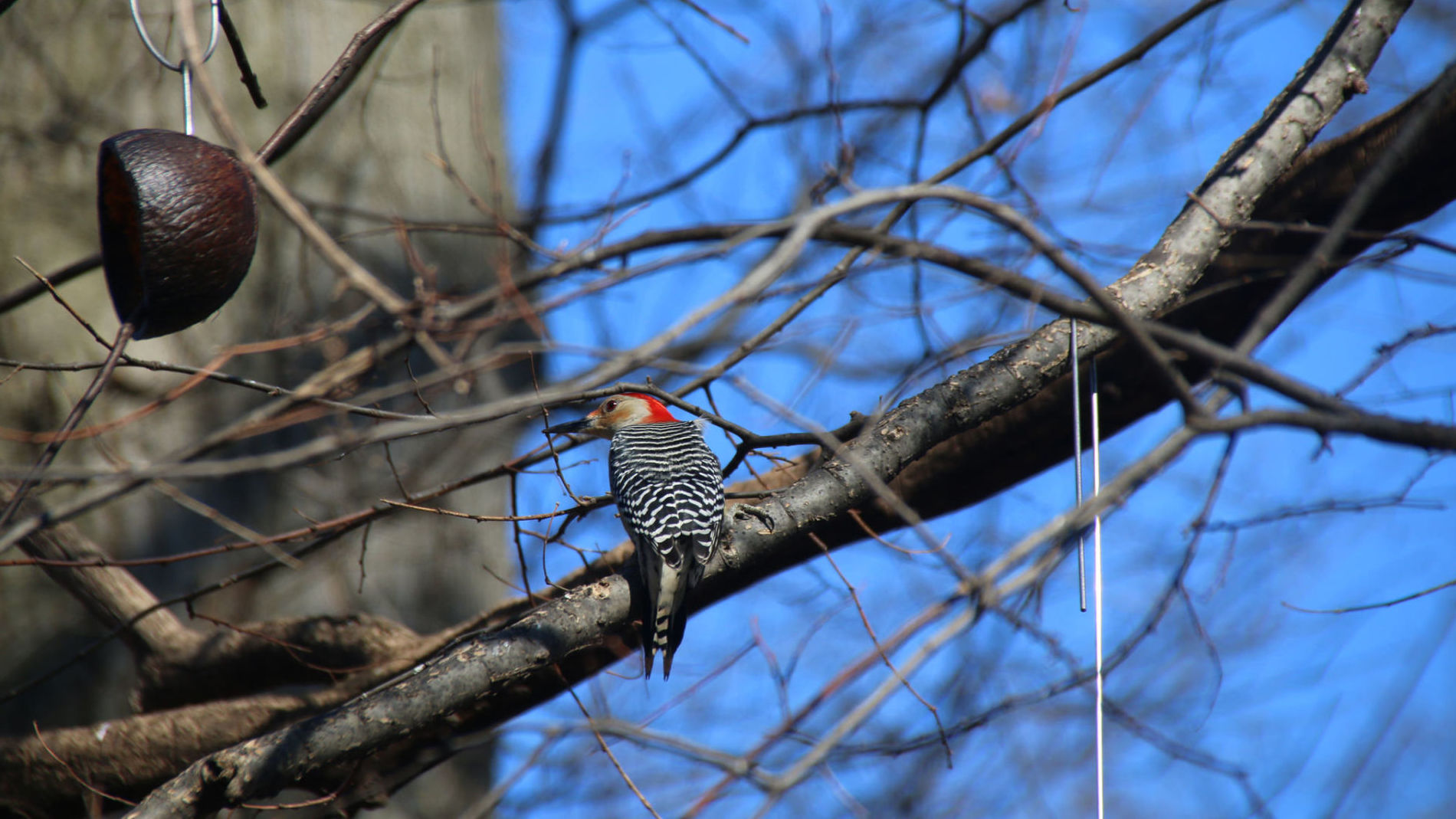 Red-Bellied Woodpecker in The Ramble at Central Park (New York City) - February 2017. Photo: Flickr/Corey Seeman