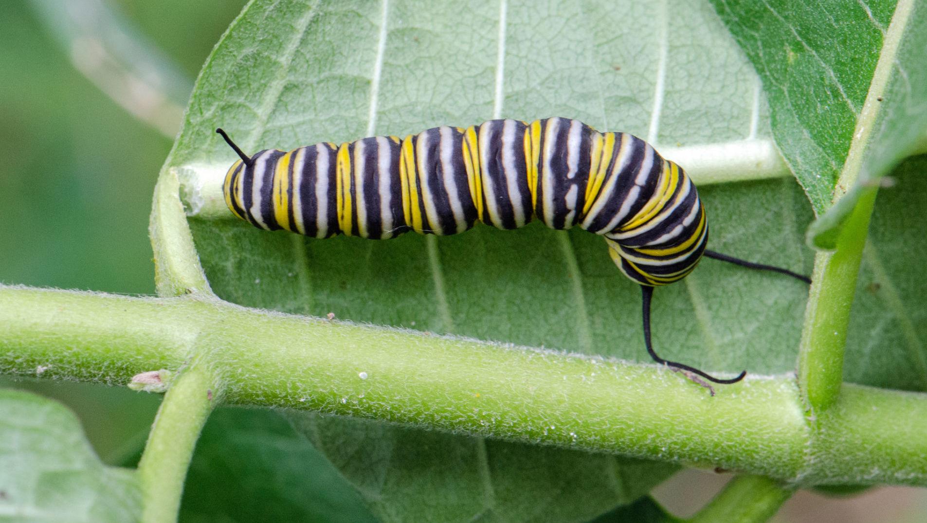 Monarch caterpillar. Photo: Flickr/Christa R.