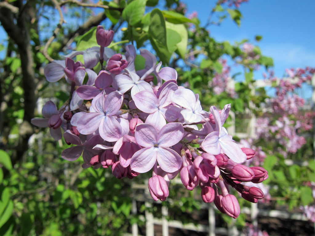 Lilacs starting to flower at Brooklyn Botanic Garden. 2012